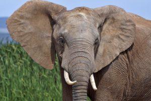 AJp-Benny-Rebel-Fotoreise-Suedafrika-Elefant