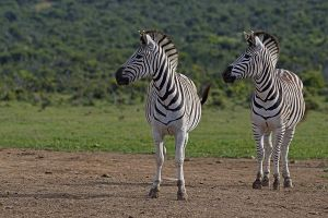 AKq-Benny-Rebel-Fotoreise-Suedafrika-Zebra