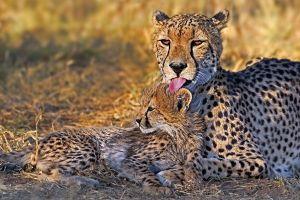 AKw-Benny-Rebel-Fotoreise-Suedafrika-Gepard