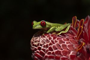 ALx-Benny-Rebel-Fotoreise-Frosch-Costa-Rica
