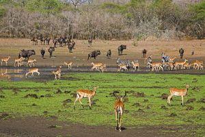 AOc-Benny-Rebel-Fotoreise-Swasiland-Impalas