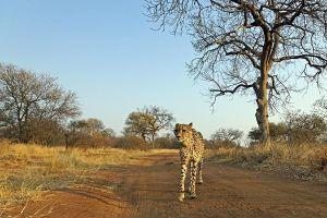 AQh-Benny-Rebel-Fotoreise-Suedafrika-Gepard