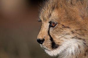 AQn-Benny-Rebel-Fotoreise-Suedafrika-Gepard