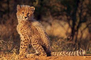 AQp-Benny-Rebel-Fotoreise-Suedafrika-Gepard