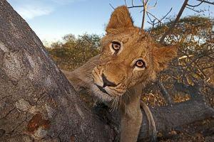 ARa-Benny-Rebel-Fotoreise-Suedafrika-Loewe