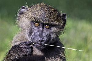 ASc-Benny-Rebel-Fotoreise-Kenia-Pavian