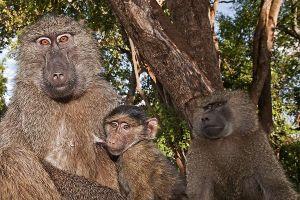 ASj-Benny-Rebel-Fotoreise-Tansania-Pavian