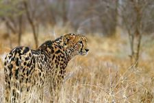 ATv-Benny-Rebel-Fotoreise-Suedafrika-Koenigsgepard