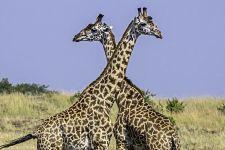 AVg-Benny-Rebel-Fotoreise-Kenia-Giraffe