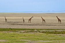 AVi-Benny-Rebel-Fotoreise-Tansania-Giraffe