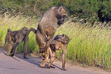 AWg-Benny-Rebel-Fotoreise-Suedafrika-Pavian