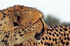 AWy-Benny-Rebel-Fotoreise-Suedafrika-Gepard