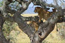 AXg-Benny-Rebel-Fotoreise-Tansania-Loewe