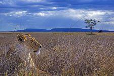 BOABenny-Rebel-Fotoreise-Tansania-Loewe