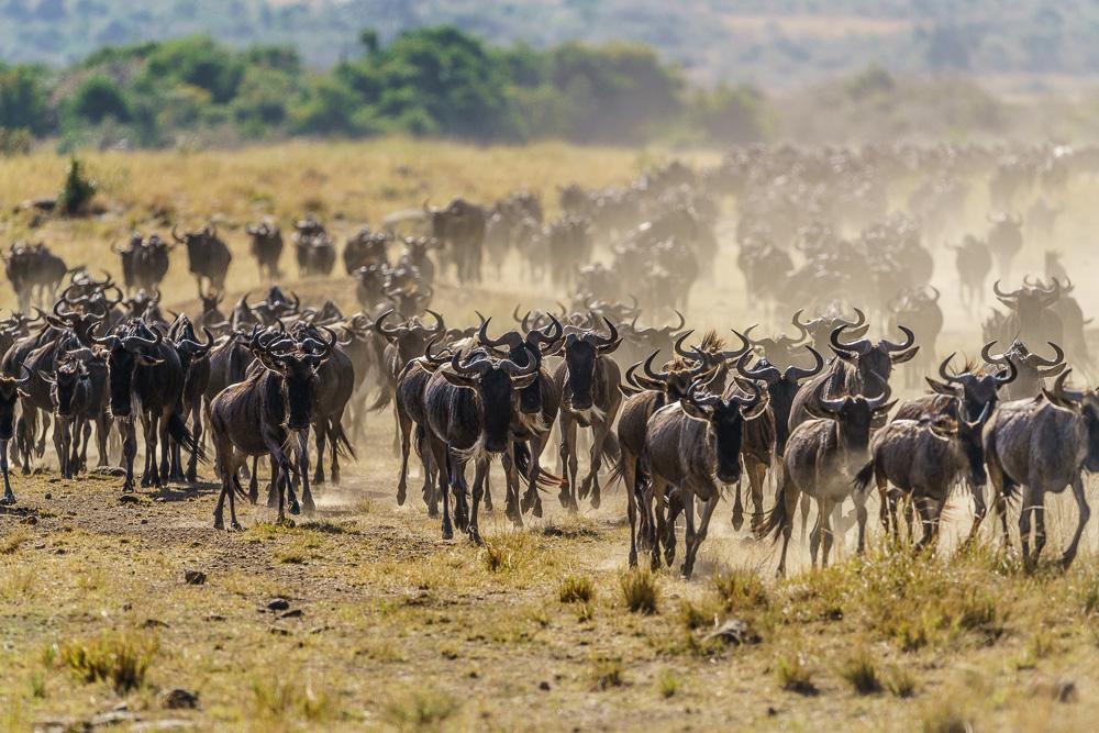 Fotoreise Kenia, Benny Rebel, Gnuherde