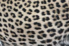 KB-Benny-Rebel-Fotoreise-Leopard-Suedafrika