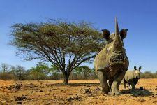 AA-Benny-Rebel-Fotoreise-Suedafrika-Breitmaul-Nashorn