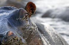 AABA-Benny-Rebel-Fotoreise-Tansania-Flusspferd