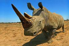 AB-Benny-Rebel-Fotoreise-Suedafrika-Breitmaul-Nashorn