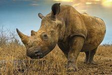 AC-Benny-Rebel-Fotoreise-Swaziland-Breitmaul-Nashorn