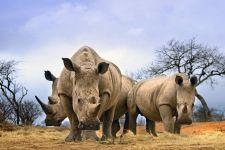 AD-Benny-Rebel-Fotoreise-Suedafrika-Breitmaul-Nashorn