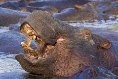 AE-Benny-Rebel-Fotoreise-Suedafrika--Flusspferd