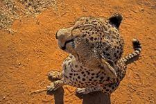 AE-Benny-Rebel-Fotoreise-Suedafrika-Gepard