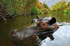 AF-Benny-Rebel-Fotoreise-Suedafrika--Flusspferd