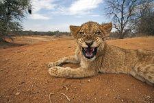 AIB-Benny-Rebel-Fotoreise-Suedafrika-Loewe