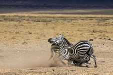 AJ-Benny-Rebel-Fotoreise-Tansania-Zebra