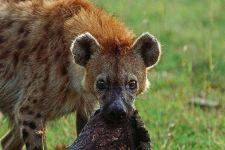 AL-Benny-Rebel-Fotoreise-Kenia-Hyaene