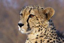AMQ-Benny-Rebel-Fotoreise-Suedafrika-Gepard