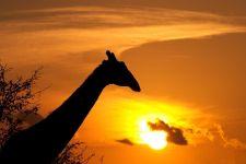 AN-Benny-Rebel-Fotoreise-Suedafrika-Giraffe