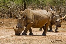AN-Benny-Rebel-Fotoreise-Swaziland-Breitmaul-Nashorn
