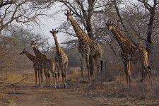 AND-Benny-Rebel-Fotoreise-Swaziland-Giraffe
