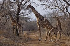 ANF-Benny-Rebel-Fotoreise-Swaziland-Giraffe