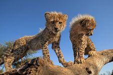 AO-Benny-Rebel-Fotoreise-Suedafrika-Gepard