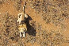 AO-Benny-Rebel-Fotoreise-Suedafrika-Loewe