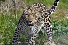 APB-Benny-Rebel-Fotoreise-Suedafrika-Leopard
