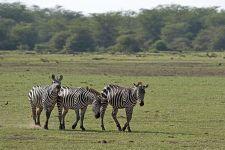 AQ-Benny-Rebel-Fotoreise-Tansania-Zebra