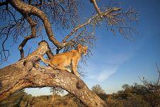 ATA-Benny-Rebel-Fotoreise-Suedafrika-Loewe