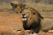 AUAA-Benny-Rebel-Fotoreise-Suedafrika-Loewe