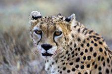 AUR-Benny-Rebel-Fotoreise-Persischer-Gepard-Iran