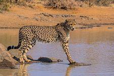 AV-Benny-Rebel-Fotoreise-Suedafrika-Gepard
