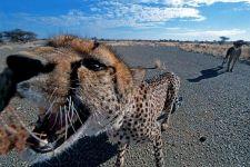 AVB-Benny-Rebel-Fotoreise-Namibia-Gepard
