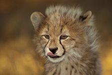AW-Benny-Rebel-Fotoreise-Suedafrika-Gepard