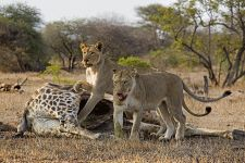 AZ-Benny-Rebel-Fotoreise-Suedafrika-Loewe