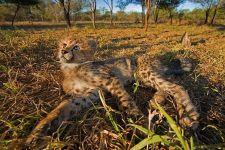 BA-Benny-Rebel-Fotoreise-Suedafrika-Gepard
