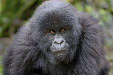 BAB-Benny-Rebel-Fotoreise-Berg-GorillaRuanda