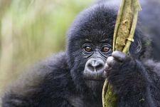 BAI-Benny-Rebel-Fotoreise-Berg-GorillaRuanda